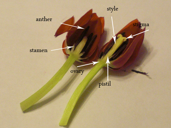 Flower dissections tulips and daisies classic housewife if needed as for the daisy you can carefully pick apart pieces of the flower to find the parts you are looking for the stamen located at the base of ccuart Choice Image