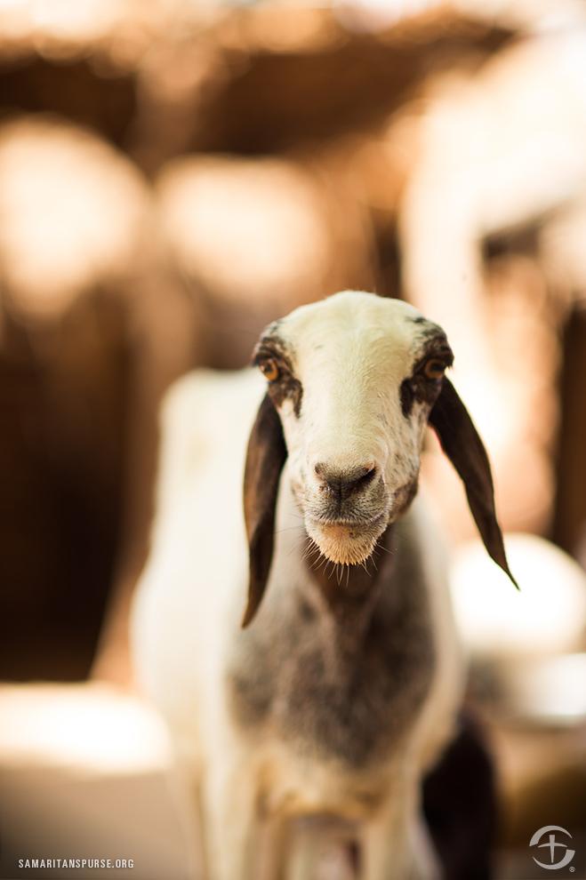 Goat-1344NE-F-016 copy